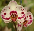 Thumbnail Orchid