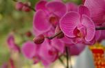 Thumbnail violet orchird