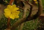 Thumbnail Apricot blossom