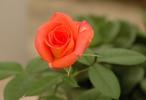 Thumbnail rose